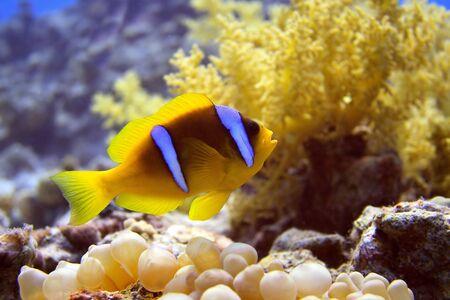 Anemone fish  photo
