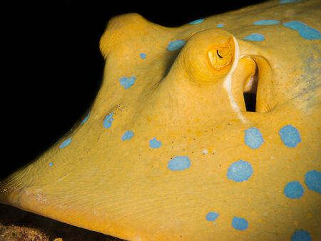 spotted ray: Closeup of a blue-spotted stingray Stock Photo