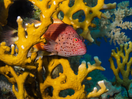 Freckeled hawkfish hiding in a fire coral Stock Photo