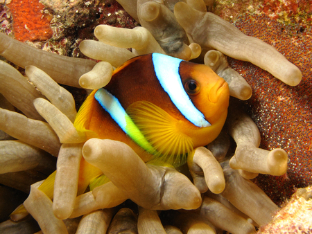 symbiotic: Anemone fish - Picture was taken in the Red Sea