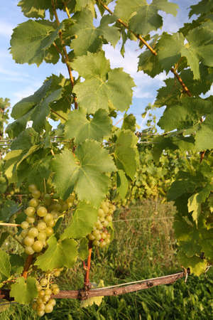 Green grapes in a vineyard