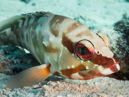 epinephelus: Colorful blacktip grouper off the coast of Hurghada, Egypt