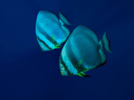 sailfin: Couple of batfish in deep blue water