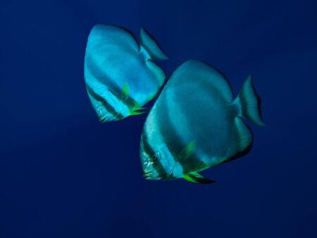 Couple of batfish in deep blue water