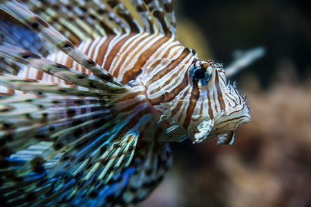 dragonfish: Closeup of a lion fish (Red Sea, Egypt)