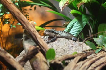 Gippsland Water Dragon