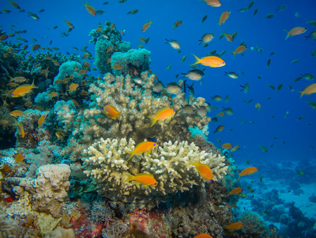 anthias fish: Colorful coral reef off the coast of Hurghada, Egypt