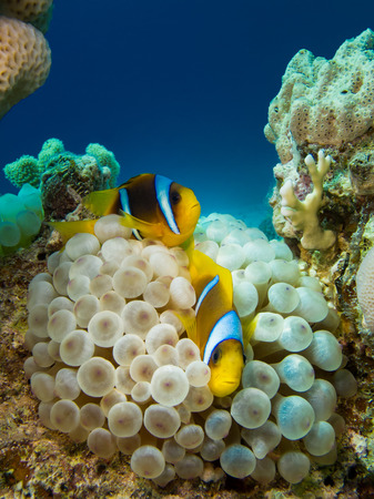 symbiotic: Couple of anemone fish in a symbiotic relationship with soft coral