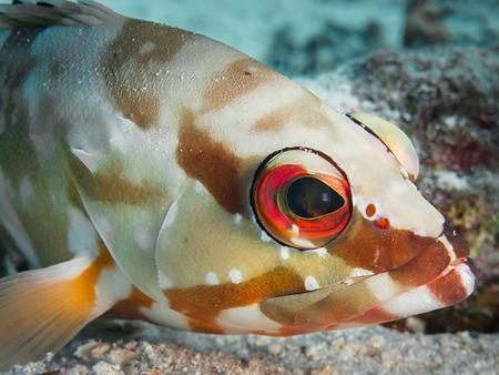 epinephelus: Portrait of a blacktip grouper