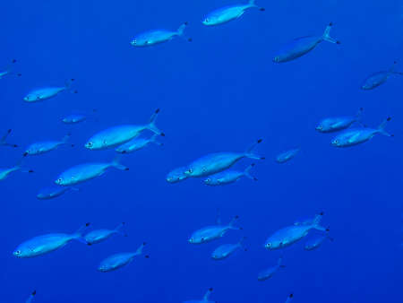 Shoal of silver fusilier fish