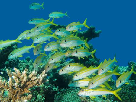 Shoal of yellow goatfish off the coaset of Hurghada, Egypt photo