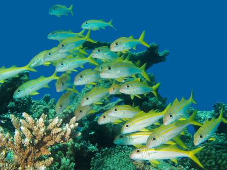 Shoal of yellow goatfish off the coaset of Hurghada, Egypt
