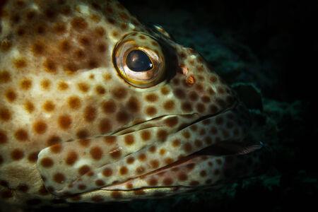 epinephelus: Portrait of a greasy grouper
