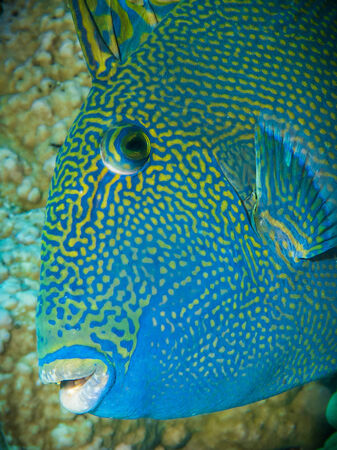 Portrait of a blue triggerfish