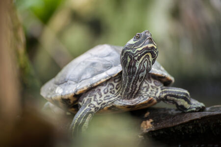 River cooter - a freshwater turtle native to Florida, United States