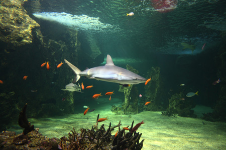 bull shark: Grey reef sharks