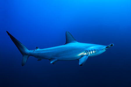 dangerous reef: Scalloped hammerhead shark, Red Sea, Egypt
