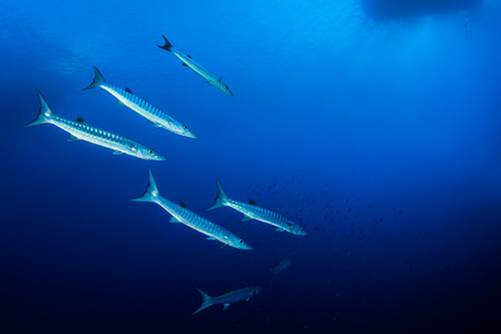 shoal: Shoal of barracudas, Red Sea, Egypt