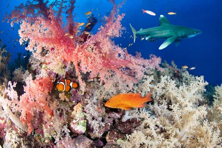Colorful reef with shark and grouper, Red Sea, Egypt Stock Photo