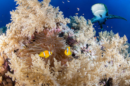 alam: Reef with shark and anemone fish, Red Sea, Egypt
