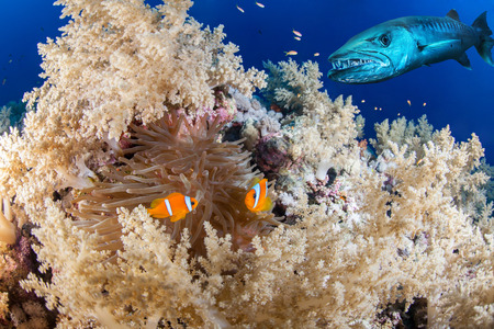 colorful fish: Clown fish couple with a barracuda, Red Sea, Eqypt