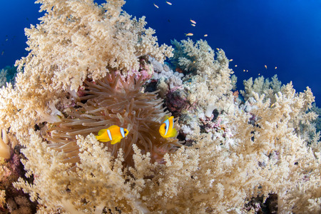Colorful reef with anemone fish couple, Red Sea, Egypt