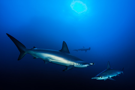 red sea: Scalloped hammerhead sharks, Red Sea, Egypt