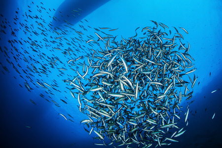 water ecosystem: Shoal of fish, Red Sea, Egypt