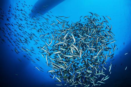 Shoal van vis, Rode Zee, Egypte Stockfoto