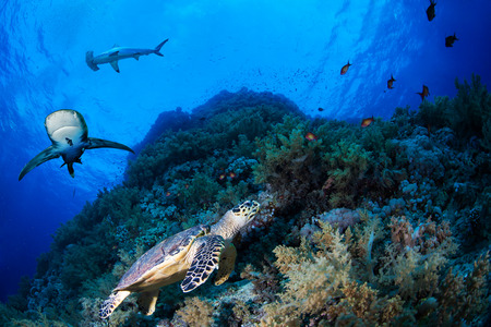 Green sea turle in a reef with sharks, Red Sea, Egypt Stock Photo