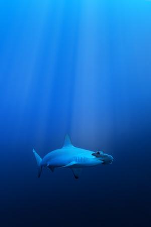 pez martillo: Tiburón martillo, Mar Rojo, Egipto