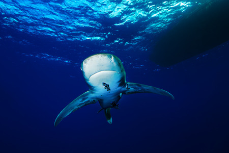oceanic: Oceanic whitetip shark, Red Sea, Egypt