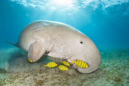 Dugong surrounded by yellow pilot fish Standard-Bild - 110740292
