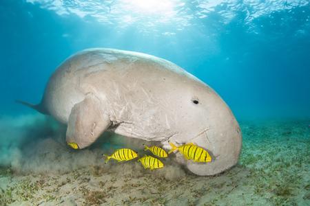 Dugong umgeben von gelben Pilotfischen