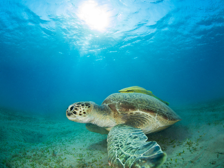 Green sea turtle in a sea grass meadow Stock Photo