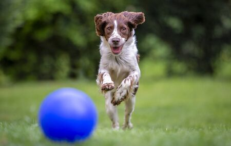 Young English springer spaniel having fun chasing a blue ball across the lawn