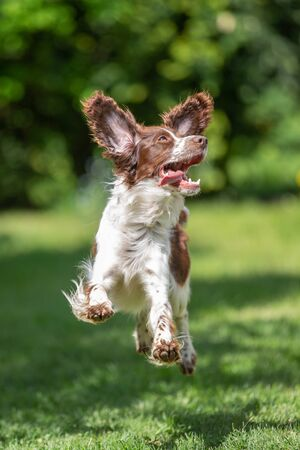 Young springer spaniel on grass jumping for joy with flying ears