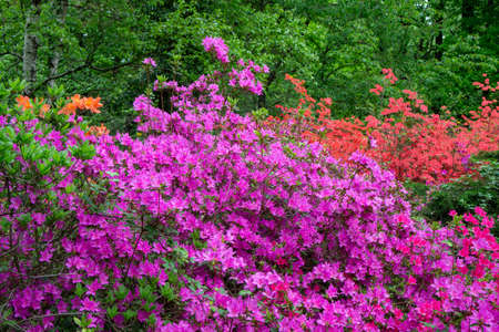 Rododendrons blossom in an hungaian Country garden in Jeli arboretum botanical garden
