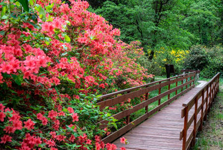 Rododendrons blossom in an hungaian Country garden forest in Jeli arboretum botanical garden Stock Photo