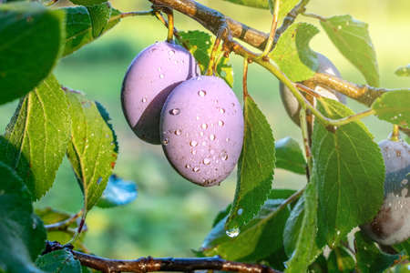 ripe plums on a tree branch in the orchard sunlight after rain Banque d'images