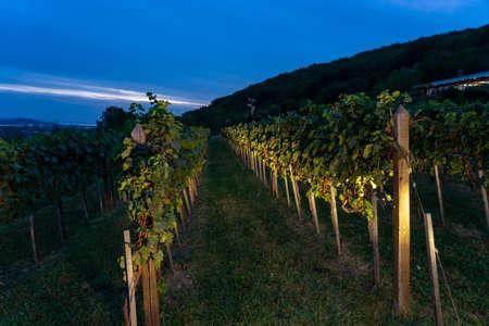 illuminated vineyard rows in Csopak Hungary