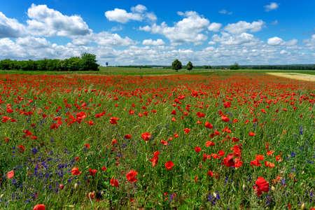 windy poppy field in Hungary with blue sky