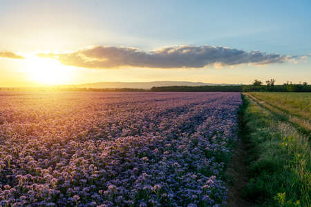 beautiful purple lila flowering phacelia field in the sunset natural landscape 스톡 콘텐츠
