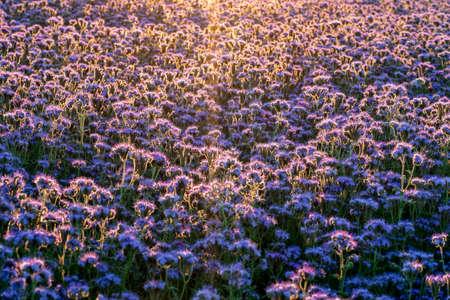 beautiful purple lila flowering phacelia field in the sunset natural landscape pattern 스톡 콘텐츠