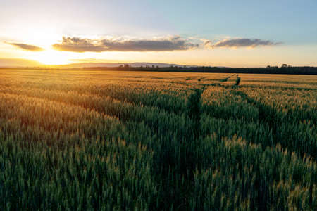 sunset over the wheat field with path ways crossing
