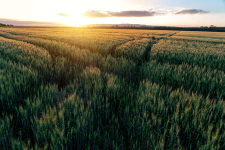 sunset over the wheat field with path ways crossing . 版權商用圖片