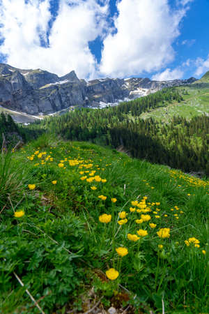 summer tyrol alms view with little yellow flowers hills and mountains