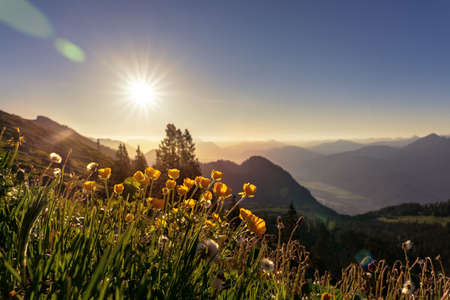 sunrise summer tyrol alms view with little yellow buttercup Ranunculus acris flowers hills and mountains