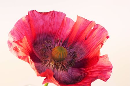 Single Bright Red Poppy photo