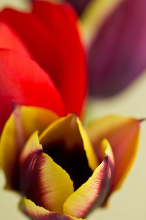 Tulips Close up photo